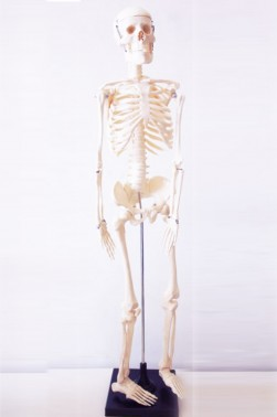 Wooden Mannequin & Models: Human Skeleton Model 85cm Height