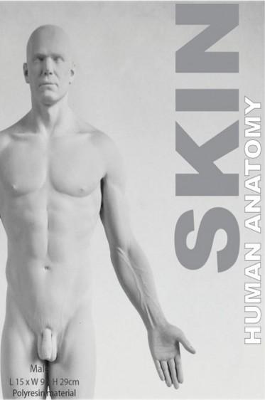 Wooden Mannequin & Models: Human Anatomy Male Skin